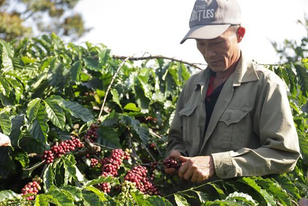 Khó khăn trăm bề đè năng lên nông dân trồng cà phê - Ảnh 1.