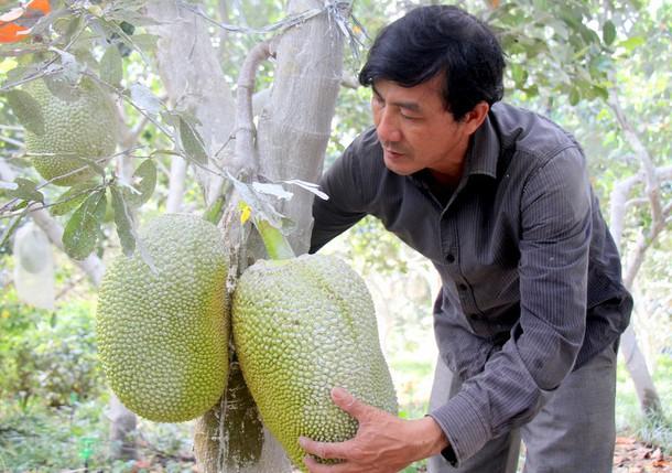 Nông dân lãi lớn nhờ giá mít Thái cao kỷ lục - Ảnh 1.