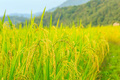 Ai Cập dự kiến tăng diện tích trồng lúa để giảm nhập  khẩu gạo