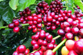 Giá cà phê hôm nay 15/3: Giảm sâu 600 đồng/kg trên diện rộng