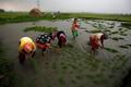 Gạo Thái kém hấp dẫn trong mắt các nhà nhập khẩu