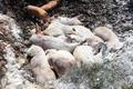 TT - Huế xuất hiện ổ dịch tả lợn Châu Phi đầu tiên
