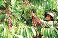 Đắk Nông: Trồng xen canh 'cứu' cà phê trong biến đổi khí hậu