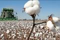 Triển vọng ngành bông năm 2019 bị ảnh hưởng bởi căng thẳng thương mại
