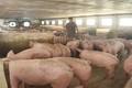 Xem xét miễn giảm lãi vay cho khách hàng bị thiệt hại do dịch tả lợn Châu Phi