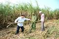 Gỡ khó cho sản xuất mía đường