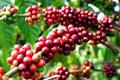 Giá cà phê hôm nay 21/3: Quay đầu giảm mạnh 300 đồng/kg
