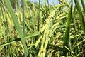 Nông dân Thái Lan thích trồng giống lúa của Việt Nam