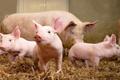[Download] Báo cáo thị trường heo hơi tháng 1/2019: Triển vọng ngành chăn nuôi heo không mấy lạc quan