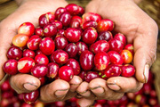 [Báo cáo] Thị trường cà phê tháng 2/2019: Giá cà phê quay đầu giảm