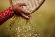 Sản lượng gạo kỉ lục có thể đưa tổng lương thực Ấn Độ đạt trên 281 triệu tấn năm 2018 - 2019