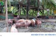 Cần có phương án tái đàn sau khi hết dịch tả lợn châu Phi