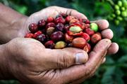 Giá cà phê hôm nay 25/3: Giảm 100 đồng ở một số tỉnh vào đầu tuần