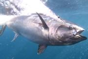 [Phần 1] Nikkei: Tập đoàn thủy sản Thai Union biến cá ngừ thành 'mỏ vàng'
