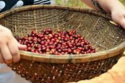 Giá cà phê hôm nay 5/3: Tiếp tục giảm 300 đồng/kg, giá tiêu tăng nhẹ