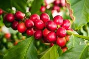 Giá cà phê hôm nay 6/3: Phục hồi nhẹ 100 đồng/kg, giá tiêu đi ngang