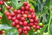 [Download] Báo cáo thị trường cà phê 2018: Một năm 'buồn' với ngành cà phê