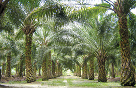 Malaysia thu hơn 72 triệu USD tiền thuế trong quý I/2021 từ dầu cọ