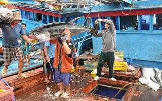 """Tàu cá ngừ xuất khẩu """"mặc kẹt"""" giữa hai thông tư"""