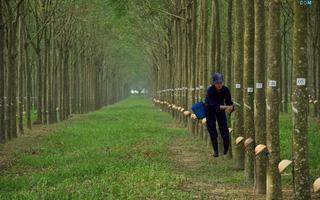Cao su Phước Hòa dự kiến phát hành 54,2 triệu cổ phiếu thưởng, tăng vốn lên hơn 1.300 tỷ đồng