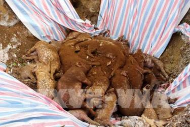 Xuất hiện ổ dịch tả lợn châu Phi tại Lai Châu